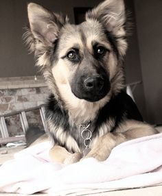 German shepherd/husky mix gorgeous dog! This is one of my favorite looks the beautiful mixed breed can have.