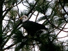 The Bald Eagle in the tree