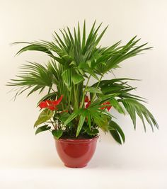 10in Chinese Fan & Anthurium Upgrade- If you are looking to spruce up your home, a stylish, quick and pocket friendly way to do so is with indoor plants!
