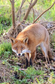 Red Fox by charlie.syme Fox