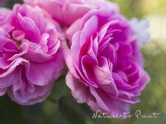 Kunstdruck-Leinwandbild mit rosa Rosenblüten