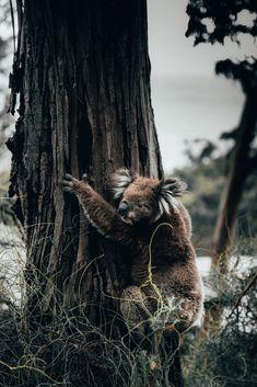 Watch Brave Woman Rescue Koala from Blazing Australian Bushfires - One Green PlanetOne Green Planet Animals And Pets, Baby Animals, Cute Animals, Baby Giraffes, Wild Animals, Photography Beach, Animal Photography, Wildlife Photography, Australian Photography