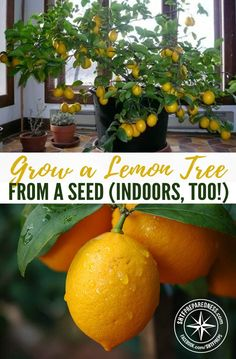 Grow a Lemon Tree from a Seed (Indoors, too!) is part of Citrus tree indoor - Citrus fruits are full of essential vitamins, great for recipes, and are a lovely addition to your garden