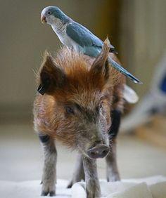 pig, bird