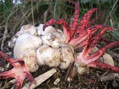 Octopus Shape: Octopus Stinkhorn This species looks weird. As its name implies, this fungus look likes an octopus. Clathrus archeri, commonly known as OctopusStinkhorn, is endemic to Australia and Tasmania   13 Bizzare Mushrooms from Around the World