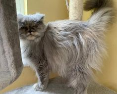 Persian and himalayan kittens for sale Himalayan Kittens For Sale, Kitten For Sale, Cats And Kittens, Persian, Animals, Animales, Animaux, Persian People, Persian Cats