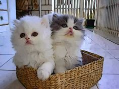 A basket of kittens...the perfect gift for any occasion!