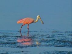 af3e398accba Roseate Spoonbill Sanibel-- It s always a thrill to spot a ROSEATE  SPOONBILL with its bright pink feathers and its aptly named bill that looks  like a wooden ...