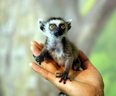 fun fact, I did a report on ring tailed lemurs in 4th grade