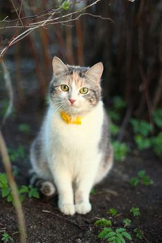 dilute calico with yellow collar