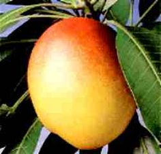 Criativa e Curiosa-frutas brasileiras-mANGA