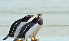 Three gentoo penguins fight over a feather on a beach in the Falkland Islands, in the southern Atlantic Ocean.