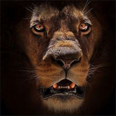 The Lion (Panthera leo) is one of the four big cats in the genus Panthera and a… Beautiful Cats, Animals Beautiful, Big Cats, Cats And Kittens, Regard Animal, Animals And Pets, Cute Animals, Scary Animals, Wild Animals