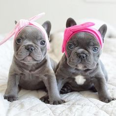 "Explore our website for even more information on ""french bulldogs"". It is actually an excellent place to find out more. Baby Animals Super Cute, Super Cute Puppies, Cute Little Puppies, Cute Little Animals, Cute Dogs And Puppies, Cute Funny Animals, Doggies, Cute French Bulldog, French Bulldog Puppies"