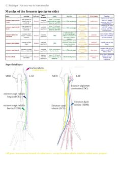 C.RiedingerAneasywaytolearnmuscles  Musclesoftheforearm(posteriorside)                                      ...
