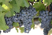 Malbec is a purple grape variety with an inky dark color and robust tannins  Argentine varietal wine and is being grown around the world also Cahors in South West France, called Malbec in Bordeaux, and Pressac in other places