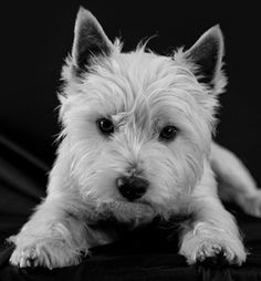 #westies #westie #puppies