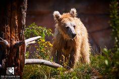 Junger Bär Zoo Hluboká