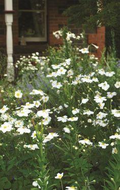 Anemone White Windflower Lomandra, Daisy Field, Snow In Summer, Agapanthus