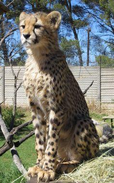 my baby on the lookout Conservation, Cheetah, Kangaroo, Giraffe, Cats, Animals, Baby Bjorn, Felt Giraffe, Gatos