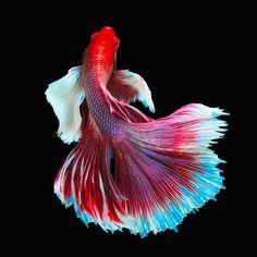 Big Ear Halfmoon White-Red Betta by Prasit Utalert - Photo 148623183 / 500px