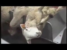 This video filmed by GAIA exposes the suffering caused by the Halal method of animal slaughter. As you can see the animals are not stunned before they are ki. Animal Slaughter, Video Film, Going Vegan, Gaia, Islam, Animals, Animales, Animaux, Animal