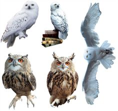 Harry Potter Hedwig and Owls Bundle | Harry Potter & Hogwarts ...