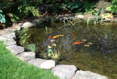 All 12 fish have survived 3 years - Koi are getting big and goldfish will just explode at some point if they keep eating