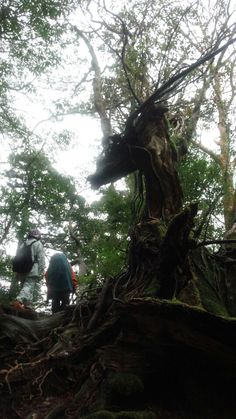 龍の杉[yakushima]