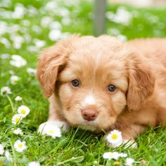 Honestly. Is there a cuter puppy than a toller?