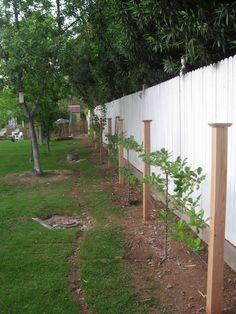 WISH LIST. espalier fruit trees around the fence to maximize fruit trees.