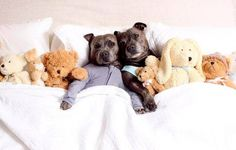 World's Cutest Canine Siblings – Staffies Darren and Phillip – Are Back!