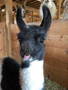 pictures of llamas faces at DuckDuckGo Alpacas, Llama Pictures, Cute Animal Pictures, Llama Face, Llama Llama, Baby Llama, Funny Animal Memes, Funny Animals, Cute Baby Animals