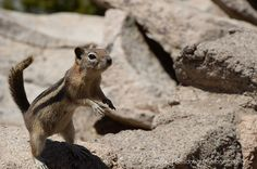 Animal Fine Art Photography  Chipmunk  by ChasingShadowsPhotos, $30.00  www.carriemorganmedia.com #CarrieMorganMedia