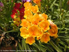 Orangish-yellow freesia, also comes in orange, red, and combos thereof. Fresh scent.