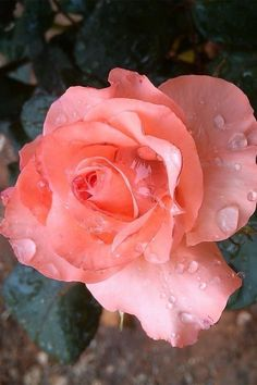 """by Keith Kingston """" Orange Flowers, My Flower, Pretty Flowers, Rose Pictures, Flower Photos, She Was Beautiful, Beautiful Roses, Morning Rose, Morning Dew"""