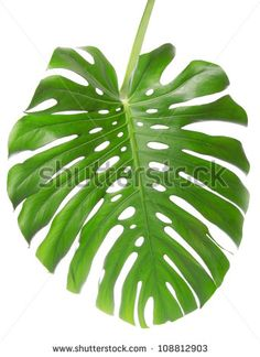 Single Monstera leaf isolated on white