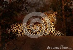 Leopard Sunset Stock Photos, Images, & Pictures – (220 Images)