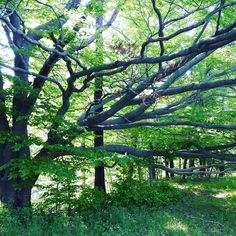 The trunk of this tree stands at the bottom of an embankment so the low branches are only a few feet off the ground. #trees #KnoxFarm #EastAurora #wny