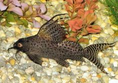 2 synodontis catfish and 2 sliver dollars at Aquarist Classifieds Jellyfish Aquarium, Tropical Fish Aquarium, Freshwater Aquarium Fish, Funny Animal Quotes, Funny Animals, Terrarium Tank, Cool Fish, African Cichlids, Angel Fish