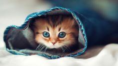 Cute Cat HD Desktop Background