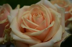 A lovely Peach Avalanche rose up close.