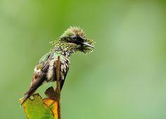Foto topetinho-verde (Lophornis chalybeus) por Luiz Ribenboim | Wiki Aves - A Enciclopédia das Aves do Brasil