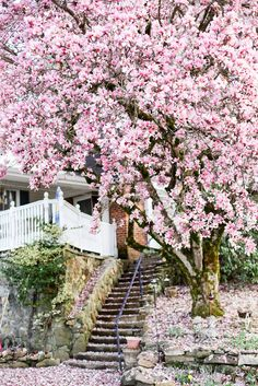 Saucer Magnolia Fragrant Bloom Spring, H & W fast growth, full sun, deciduous, reg water. ' -for bedroom privacy Trees And Shrubs, Flowering Trees, Trees To Plant, Saucer Magnolia Tree, Magnolia Trees, Outdoor Plants, Outdoor Gardens, Japanese Magnolia Tree, Asian Flowers