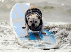Surf City Surf Dog: A dog rides a wave at a surf dog contest in Huntington Beach, California