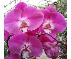 "Phalaenopsis ""Темно-розовый"" - Dark Pink"