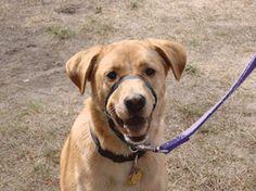 Dog Behavior:Understanding Barrier Frustration in Dogs