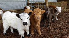 Adorable miniature cows! Calf - calves - mini.