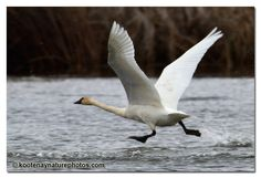 tundra swan pictures | Tundra Swan takes Flight