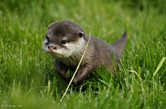 I want an Otter pup!